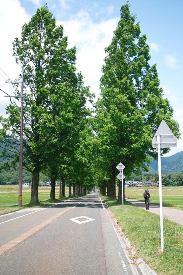 マキノピックランドからマキノ高原までの総延長約2.5キロの並木