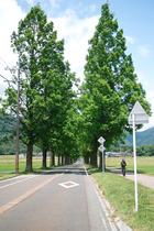 長〜いメタセコイア並木を走ってきました (^O^)