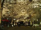京都・祇園白川の桜